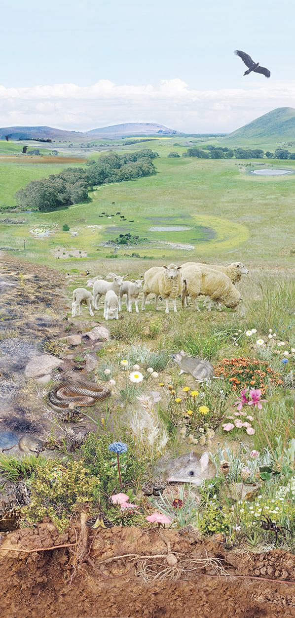 The Impact of Sheep and Other Introduced Animals on The Environment